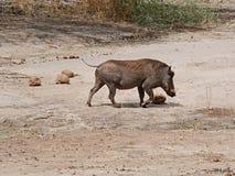 Warthog in Africa safari Tarangiri-Ngorongoro. Warthog on Safaris in Tarangiri-Ngorongoro, safari wilderness, savannah, warthog in the natural environment stock image
