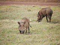 Warthog in Africa safari Tarangiri-Ngorongoro Stock Photography