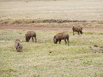 Warthog in Africa safari Tarangiri-Ngorongoro Royalty Free Stock Photos