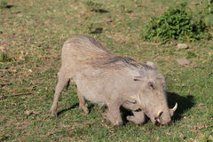 Warthog in the wild Royalty Free Stock Images