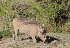 Warthog in the wild Stock Photos