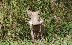 Warthog in the wild Royalty Free Stock Photo
