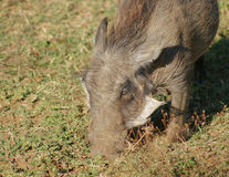 Warthog in Africa Royalty Free Stock Photos