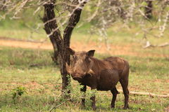Warthog in african bush. Young male warthog standing and watching on the african savanah Royalty Free Stock Photo
