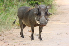 Warthog African mammal. South Africa Kruger National Park Royalty Free Stock Photo