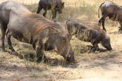 Warthog African mammal Stock Images
