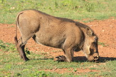 Warthog African mammal Stock Photography