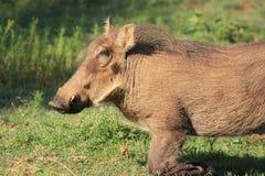 Warthog African mammal Stock Photos