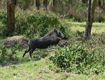 Warthog Stock Image
