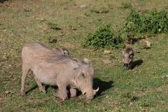 Africa wildlife, warthog. Warthog in African savana on dry grass at safari game wild nature in Masai Mara, Amboseli, Samburu, Serengeti and Tsavo national parks Royalty Free Stock Image