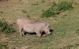 Africa wildlife, warthog. Warthog in African savana on dry grass at safari game wild nature in Masai Mara, Amboseli, Samburu, Serengeti and Tsavo national parks Stock Images