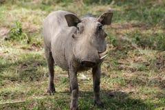 Warthog. In African savana on dry grass at safari game wild nature in Masai Mara, Amboseli, Samburu, Serengeti and Tsavo national parks of Kenya and Tanzania Stock Image