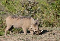 Warthog. In African savana on dry grass at safari game wild nature in Masai Mara, Amboseli, Samburu, Serengeti and Tsavo national parks of Kenya and Tanzania Stock Photography