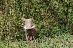 Warthog Royalty Free Stock Photography