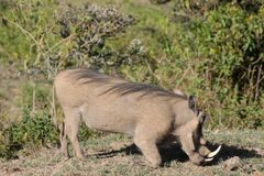 Warthogs in African bush Royalty Free Stock Image