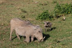 Warthogs in African bush Royalty Free Stock Images