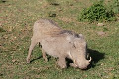 Warthog eating grass in Africa Royalty Free Stock Photography