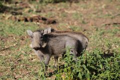Warthog small animal in African bush Stock Images