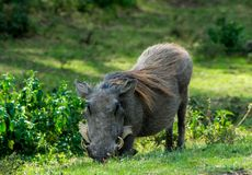 Warthog wild animal in African bush Stock Image