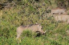 Africa wildlife, warthog. Warthog in African savana on dry grass at safari game wild nature in Masai Mara, Amboseli, Samburu, Serengeti and Tsavo national parks Royalty Free Stock Photo