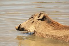 Warthog - African swimming lessons Stock Photos