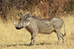 Warthog - African Wildlife Background - Posing Pride and Power. A Warthog boar approaches a watering hole in Africa, apparent power and pride visible Stock Photography