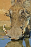 Warthog - African Wildlife Background - Tranquil Pleasure. A Warthog boar visits a watering hole in Africa, apparent tranquillity and pleasure visible Royalty Free Stock Photo