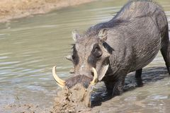 Warthog - African Wildlife - Mud Mover Royalty Free Stock Photo