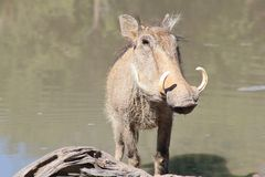 Warthog - African Wildlife - Potrait of Curly Tusks Stock Photography
