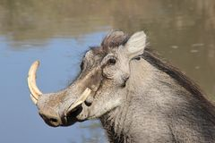Warthog - African Wildlife - Potrait Tusk Power Royalty Free Stock Images