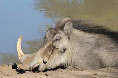 Warthog - African Wildlife - Sleeping Beauty Royalty Free Stock Photos