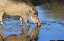 Warthog - African Wildlife - Super Sunset Colors Stock Photography