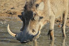 Warthog - African Wildlife - Tusks and Warts for all Royalty Free Stock Images
