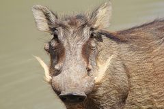 Warthog - African Wildlife - White Beard Stock Images