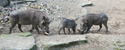Warthog africano in natura Fotografie Stock Libere da Diritti