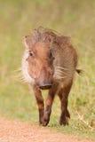 Warthog (africanus de phacochoerus) Photographie stock