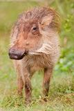 Warthog (africanus de phacochoerus) Image stock