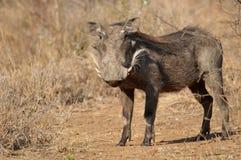 Warthog (africanus Phacochoerus) Стоковые Фотографии RF