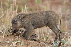 Warthog (africanus Phacochoerus) Стоковая Фотография