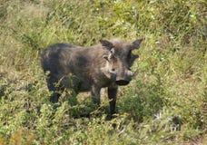 warthog afryce południowej Obraz Stock