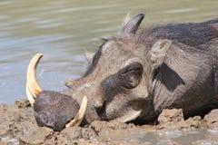 Warthog - Afrykańska przyroda - Potrait sypialny knur Fotografia Stock