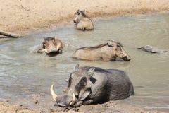 Warthog - Afrykańska przyroda - sprawa rodzinna Zdjęcie Royalty Free