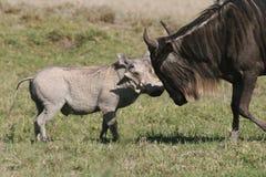 Warthog against Wildebeest Royalty Free Stock Image
