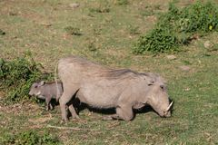 Free Warthog And Its Baby In Africa Wildlife Conservation National Park Royalty Free Stock Images - 116833709