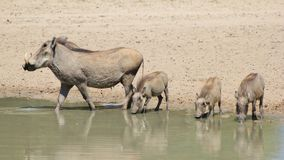 Warthog - Animal Mom and Babies (Piglets) Royalty Free Stock Image