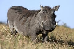 Warthog Animal Stock Image