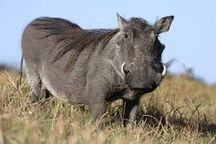 Warthog Animal Stock Image