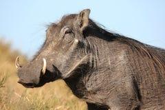 Warthog Animal Stock Photos