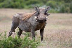 Warthog Animal royalty free stock photo