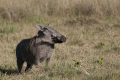 Warthog at attention Stock Image
